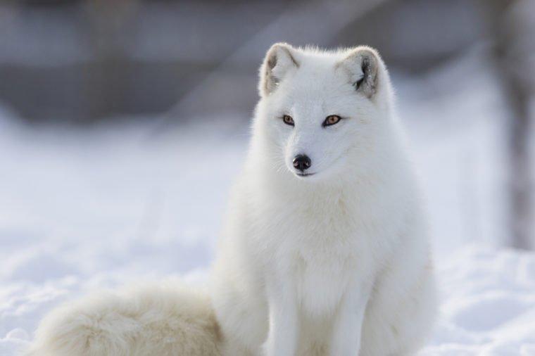 https: img-z.okeinfo.net content 2019 12 12 65 2141253 bukan-sulap-bukan-sihir-7-hewan-ini-berubah-jadi-putih-saat-musim-dingin-kf9TW2wEss.jpg