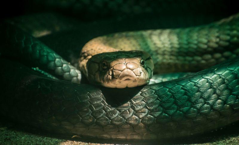 dimasuki lebih dari 30 ekor ular kobra Jawa.