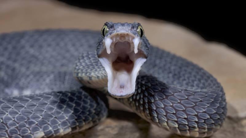 https: img-z.okeinfo.net content 2019 12 26 56 2146373 ini-cara-kerja-racun-ular-merusak-jaringan-hingga-menyebabkan-kematian-mMpJfJZSlB.jpg