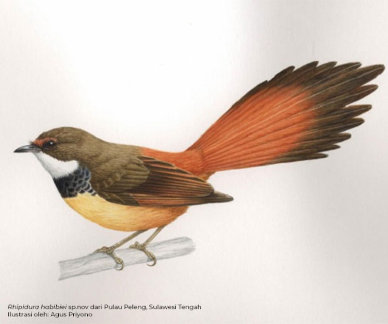 https: img-z.okeinfo.net content 2020 01 28 56 2159312 lipi-temukan-10-taksa-baru-burung-di-sulawesi-dan-maluku-utara-MFtxZmljia.jpg