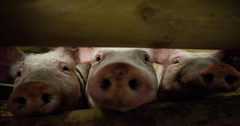 https: img-z.okeinfo.net content 2020 02 11 608 2166608 46-600-babi-mati-di-sumut-dinkes-pastikan-virus-kolera-tidak-menular-ke-manusia-wHEPxIQLni.jpg