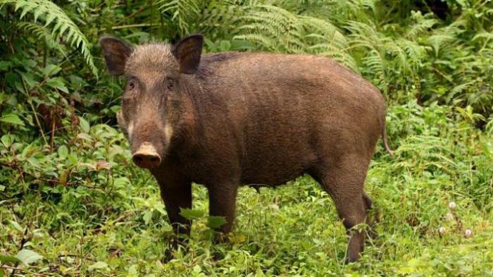 https: img-z.okeinfo.net content 2020 02 13 608 2167787 selesaikan-masalah-babi-pemerintah-harus-dialog-dengan-warga-batak-tRFo4Snh0k.jpg