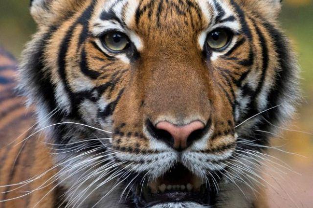 https: img-z.okeinfo.net content 2020 04 07 18 2195487 kondisi-harimau-yang-positif-virus-corona-membaik-zgYpWVZRHh.jpg