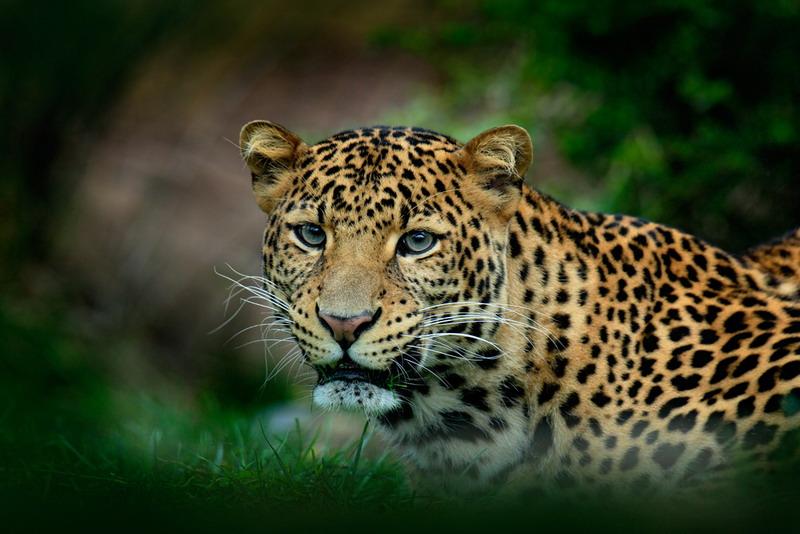 Macan Tutul, Shutterstock