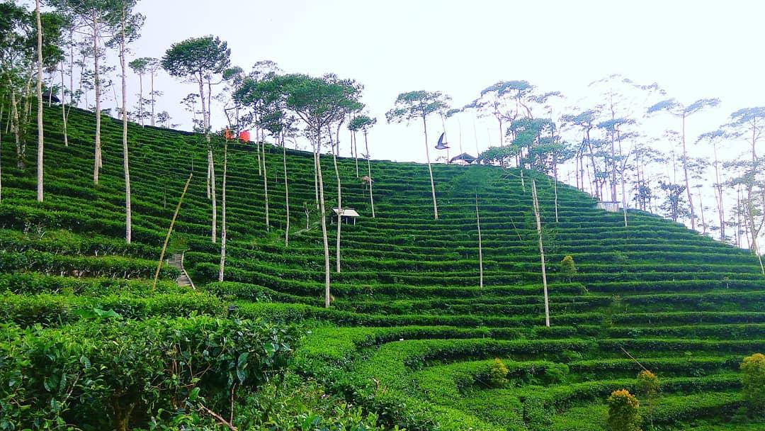 Kebun Teh Nglinggo, Yogyakarta (Ig)