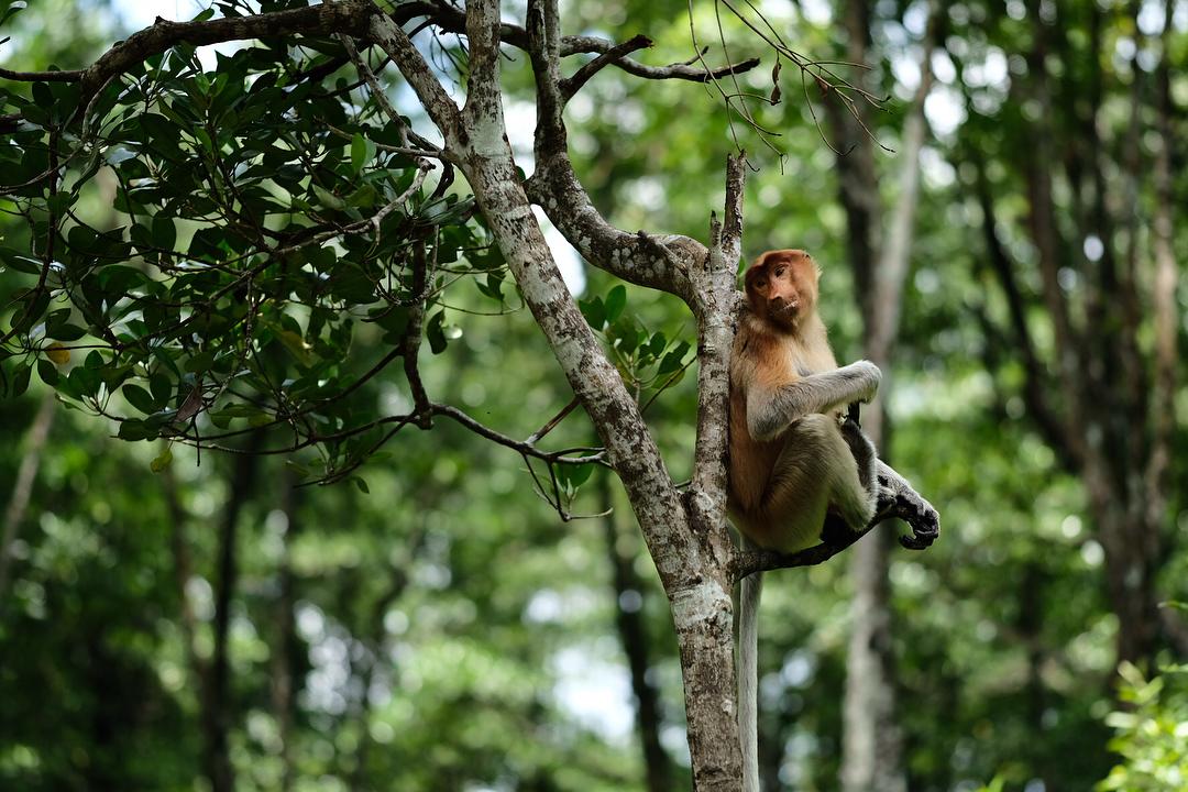 Konservasi Mangrove & Bekantan, Kalimantan Utara