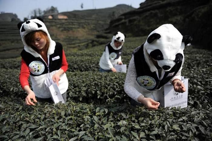 Panda Dung Tea (Wonderlist)