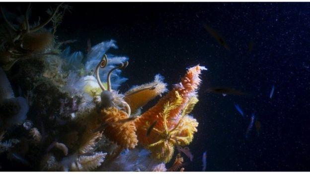 Di perairan dalam di Antarctic Sound, tim Blue Planet II menemukan hamparan kehidupan, dengan tutupan invertebrata yang rapat termasuk spons raksasa berukuran dua meter. (Dok BBC )