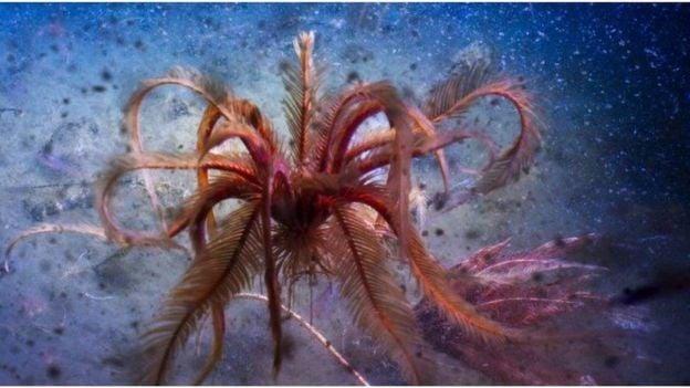 Sebuah lili laut 'menari' di kedalaman laut Antarctic Sound. (DOK BBC)