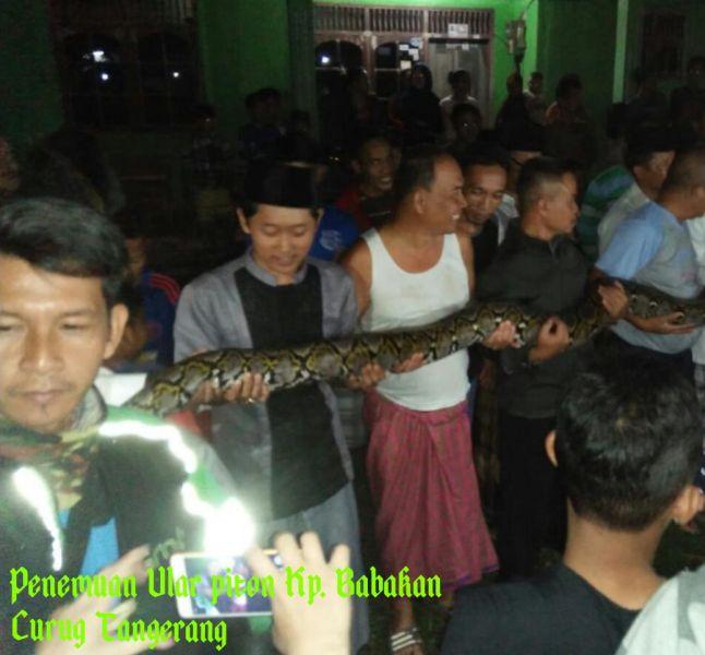 Penemuan Ular Piton di Kampung Babakan, Kab Tangerang (foto: Ist)