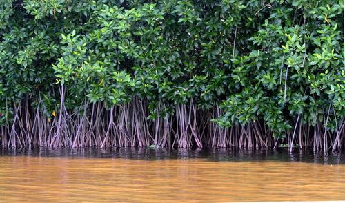 Ilustrasi Mangrove