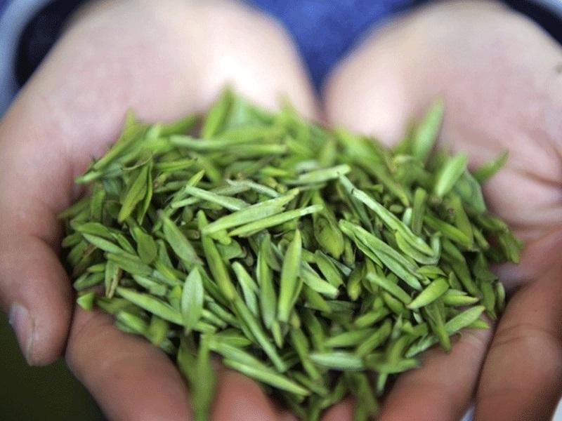 Panda Dung Green Tea