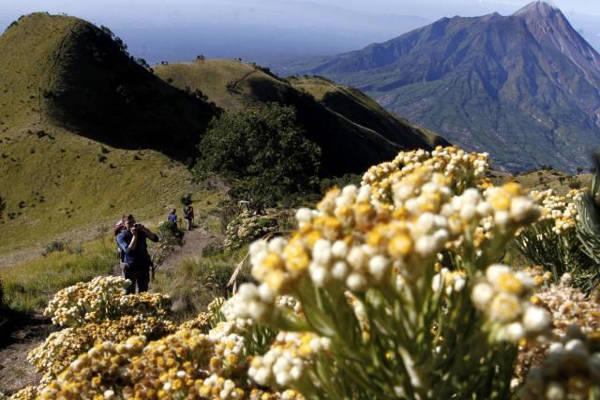 Biasanya pada Agustus bunga edelweis di jalur pendakian Selo, Gunung Merbabu, Selo, sedang mekar. (Solopos/Dok)
