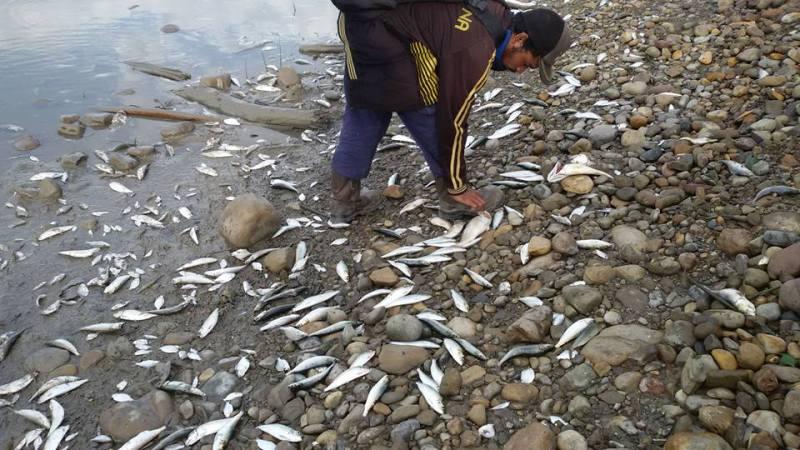 Ilustrasi ikan mati