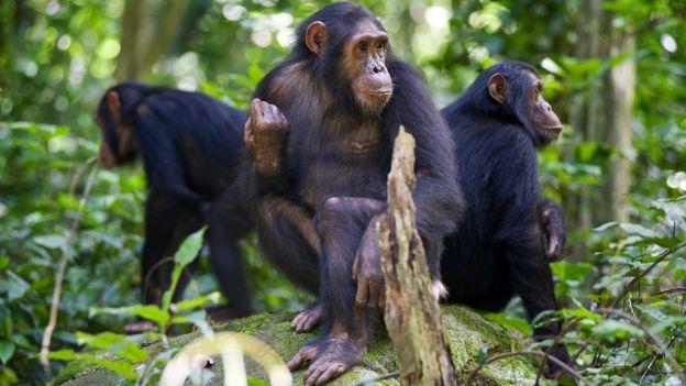 Simpanse. (Foto: Getty Images)