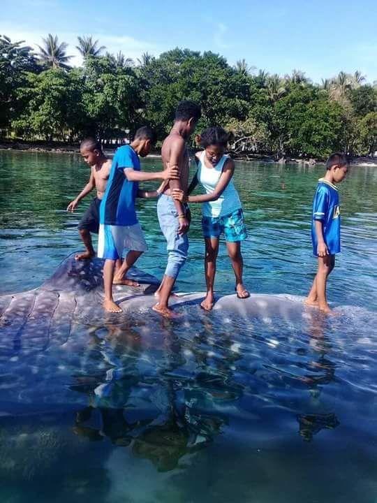 Ikan Hiu Paus Ditemukan Mati di Manokwari (foto: Andrew Chan/iNews)