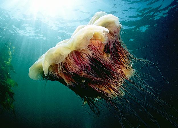 Ubur-Ubur Ini Miliki Tubuh Sebesar Ikan Paus Biru : Okezone techno