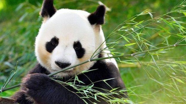 Panda. (Foto: Visual China Group/Getty Images)
