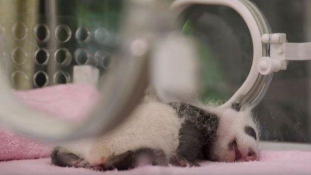 Panda. (Foto: BBC Earth Unplugged)