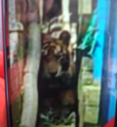 Harimau Sumatera masuk ruko