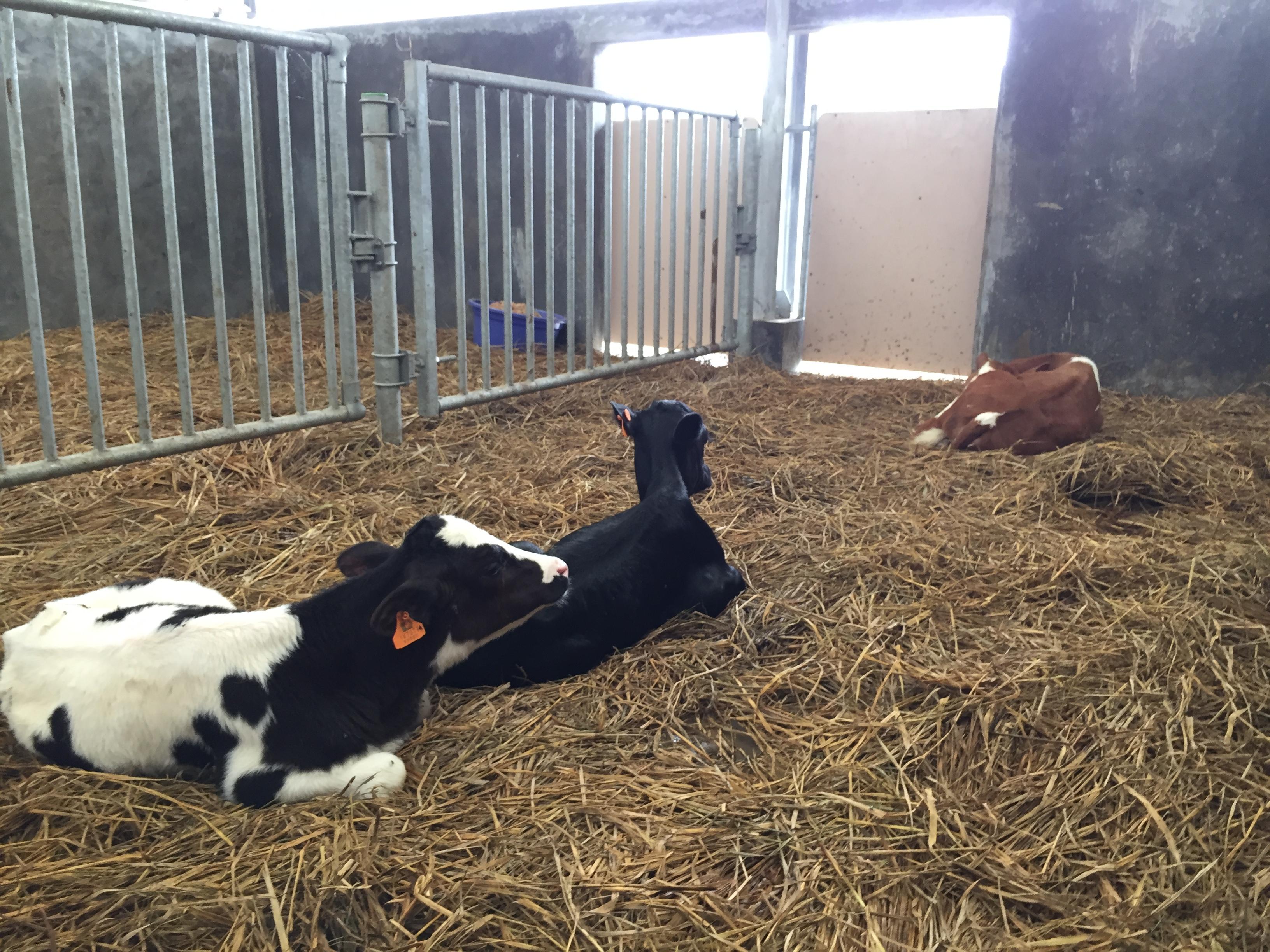 kandang sapi sedang
