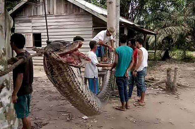 Dalam peristiwa Oktober 2017, seekor ular piton sepanjang tujuh meter disantap warga setelah hewan itu kalah dalam duel dengan seorang pria di Kabupaten Indragiri Hulu, Riau. (AFP/Getty Images)