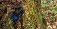 Spesies Tarantula Biru Eksotis Ditemukan, Nih Fotonya!