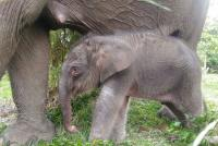Taman Nasional Tesso Nilo Punya Penghuni Baru, Bayi Gajah Berbobot 156 Kg