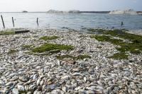 Puluhan Ton Ikan di Danau Maninjau Mati Mendadak