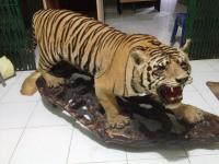 Oknum TNI Diamankan karena Menjual <i>Offset</i> Harimau Sumatera