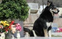 Anjing Setia Mati di Samping Makam Majikan yang Dijaganya Selama 11 Tahun
