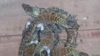 11 Ekor Komodo Anakan Jadi Penghuni Baru Kebun Binatang Surabaya
