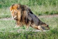 Viral Foto Singa Kelaparan, Kondisinya Sangat Memilukan!