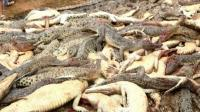 BKSDA Sayangkan Aksi Anarkis Warga Sorong Bunuh Ratusan Buaya