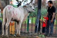 Hari Raya Idul Adha, Kelakuan Hewan Ternak Ini Bikin Kita Gak Tega Menyembelih
