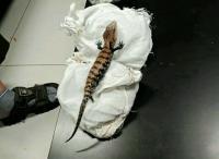 Warga Asal Jepang Ditangkap Gara-Gara Bawa 52 Ekor Reptil di Bandara Soetta
