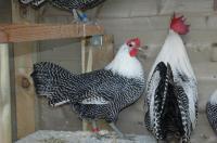 Cobain Nih Bisnis Ayam Arab Petelur, Untungnya Belasan Juta