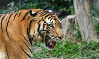 3 Harimau Turun ke Jalan Hadang Mobil Pengangkut Sawit di Aceh
