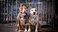 Satpam yang Digigit Pitbull Polisikan Pemilik Anjing