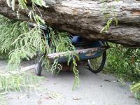 Pohon Asam Tumbang Timpa Becak yang Ditumpangi Siswi