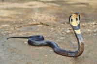Warga Digegerkan dengan Penemuan Ular Kobra Sepanjang 1 Meter di Dalam Mesin Cuci