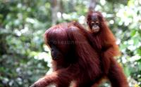 Petugas Evakuasi 2 Orangutan yang Nyasar di Kebun Sawit