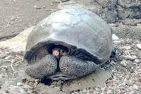 Diduga Sudah Punah Seabad Lalu, Spesies Kura-Kura Raksasa Ditemukan di Galapagos
