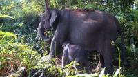 Kawanan Gajah Masuki Pemukiman Warga Pekanbaru, Petugas Bunyikan Petasan