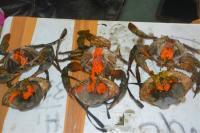 Petugas Berhasil Gagalkan Penyelundupan Kepiting Bertelur di Medan dan Balikpapan
