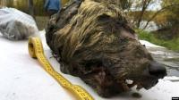 Kepala Serigala Berusia 40 Ribu Tahun Ditemukan di Siberia