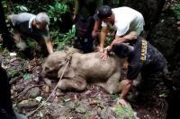 Kasihan, Anak Gajah Ini Terjerat Kawat di Pedalaman Aceh Timur