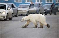 Kelaparan, Beruang Kutub Masuk ke Kota di Rusia untuk Cari Makanan