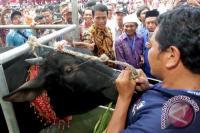 Jokowi Sumbang Sapi Brangus untuk Kurban di Gorontalo