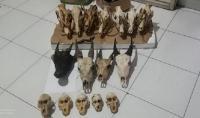 Penjual Tengkorak Satwa Liar di Manado Ditangkap Polisi